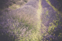Summer lavender field in Provence, France Stock Photo