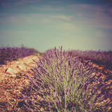 Summer lavender field in Provence, France Stock Images
