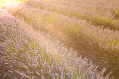 Summer lavender field in Provence, France Royalty Free Stock Photography