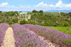 Summer lavender field in Provence, France Royalty Free Stock Photos