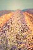 Summer lavender field in Provence, France Royalty Free Stock Images