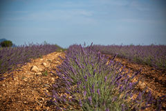 Summer lavender field in Provence, France Royalty Free Stock Photo