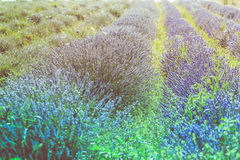 Summer lavender field in Provence, France. Shot with a selective focus Royalty Free Stock Photos