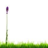 Summer Lavender Flower and Green Grass Isolated Royalty Free Stock Image