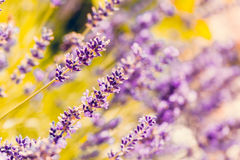 Summer lavender flowering in garden. Close up with shallow focus. Lavandula angustifolia strongly aromatic flower Royalty Free Stock Images