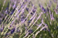 Summer lavender garden & bumblebee Stock Photos