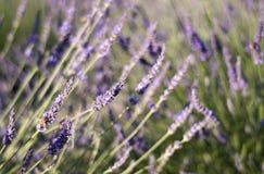 Summer lavender garden & bumblebee Stock Photos