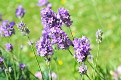 Summer lavender meadow Stock Photography