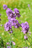 Summer lavender meadow Royalty Free Stock Photos