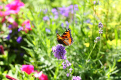 Summer lavender meadow Stock Images