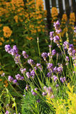 Summer lavender meadow Stock Image