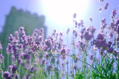 Summer lavender in the sun. royalty free stock images