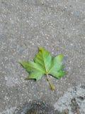 Summer' leaf Royalty Free Stock Images
