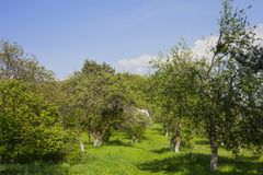 Summer leafy garden with fruit trees and green grass. Against blue sky. Sunny light day in spring empty backyard and path to house royalty free stock photography