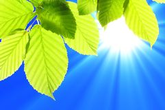 Summer leaves Stock Photography