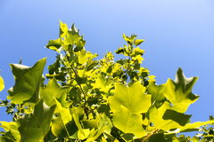 Summer leaves. Green leafs with the clear blue sky behind Royalty Free Stock Photos