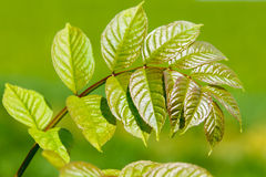Summer leaves, Royalty Free Stock Photo
