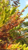 Summer Leaves. Vividly coloured red and green leaves in the sunlight Royalty Free Stock Photography