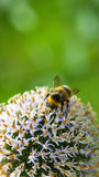 Summer life - bumble bee Stock Photos