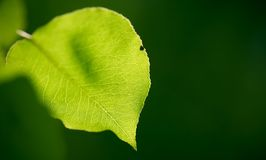 Summer light. Pear leaf backlit on a summer afternoon royalty free stock images