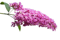 Summer Lilac Royalty Free Stock Photo