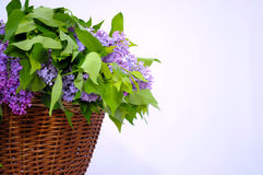 Summer lilac flowers in basket on a white background. Summer lilac flowers in a brown basket on a white background royalty free stock images