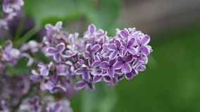 Summer lilac stock video footage