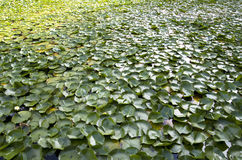 Summer lily pad pond Royalty Free Stock Photos