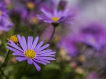 Summer in London, England - violet flowers. This image shows a view of some violet flowers in one of the parks of London, England. It was taken on a bright stock image