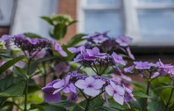 Summer in London - s bush of violet flowers and a house. This image shows a view of a bush full of violet flowers in one of the parks of London, England, the UK stock image