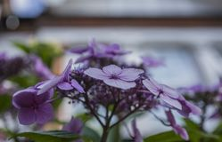 Summer in London, sunny day - a bush of violet flowers. This image shows a view of a bush full of violet flowers in a garden in London, England. It was taken on stock image