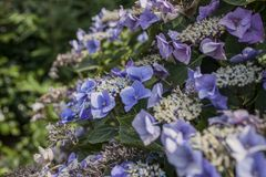 Summer in London, a sunny day - s bush of violet flowers. This image shows a view of a bush full of violet flowers in one of the parks of London, England, the royalty free stock photos