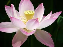 Summer lotus Stock Images