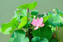 In the summer the lotus Stock Photography