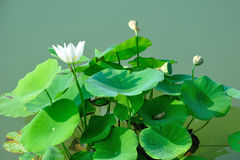 In the summer the lotus Stock Images