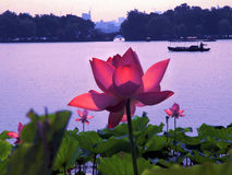 Summer lotus flower Royalty Free Stock Images