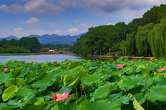 Summer lotus flowers Royalty Free Stock Photography