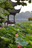 Summer lotus in full bloom Royalty Free Stock Images