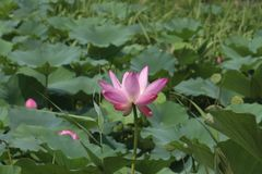 Summer Lotus among green leaves stock images