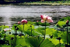 Summer Lotus in the pond China royalty free stock photos