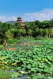 Summer lotus pond in Chinese garden Royalty Free Stock Images