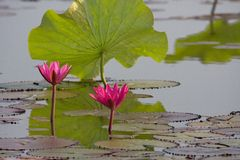 Summer lotus. There are many water lily, it's actually yan.But most red Royalty Free Stock Photo