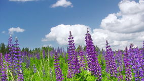 Summer lupine flowers stock video
