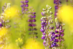 Summer lupins. Wild lupins surrounded by blurred yellow flowers Stock Photo