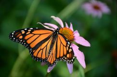 Monarch Butterfly On Purple Coneflower. Summer macro display of a monarch butterfly taking nectar from a purple coneflower blossom royalty free stock photography