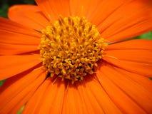 Summer Macro Flower. Macro photo of an orange summer flower Royalty Free Stock Photo
