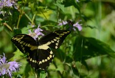 Giant Swallowtail Butterfly Sipping Nectar. Summer macro study on a giant swallowtail butterfly, sipping nectar from a purple wildflower blossom royalty free stock image