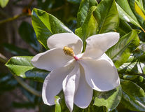 Summer Magnolia Royalty Free Stock Photos