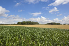 Summer maize crop Royalty Free Stock Image