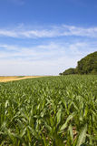 Summer maize field Royalty Free Stock Photo